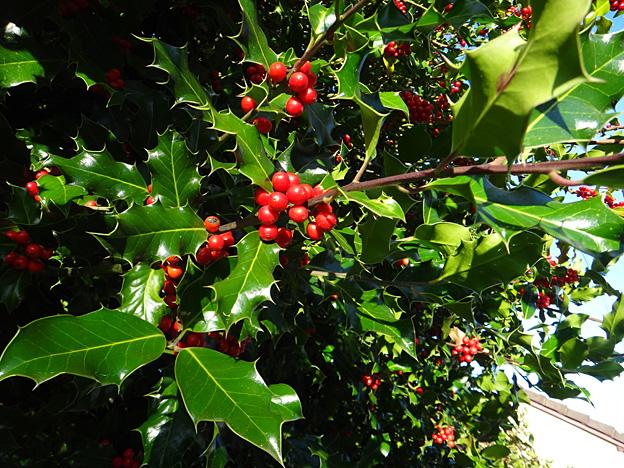 automne-houx