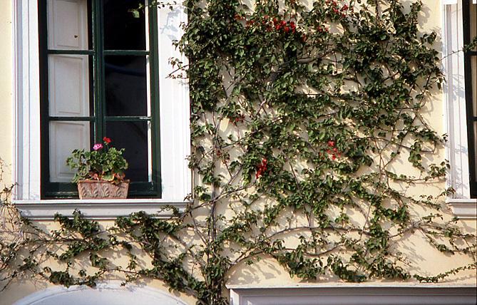 capri-roses-grampantes
