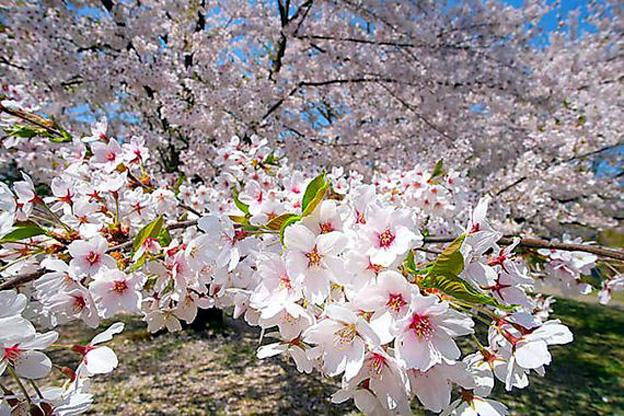 Cherryblossom asiatique datant femme